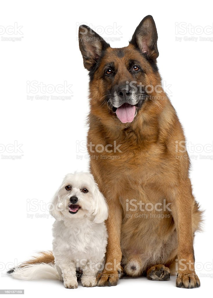 German Shepherd Dog, and Maltese, white background. royalty-free stock photo