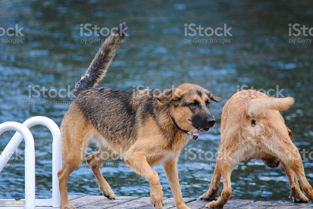 German Shepherd Dog and Yellow Lab Play on Dock stock photo