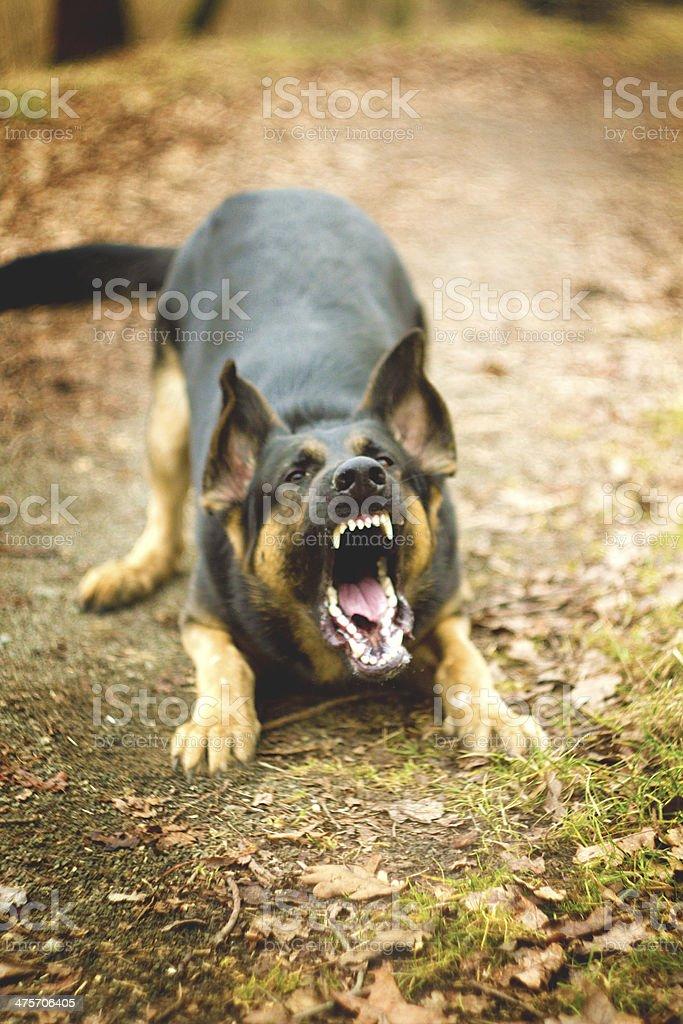 german shepherd dog barks stock photo