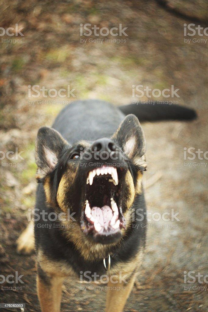 German shepherd dog barks royalty-free stock photo