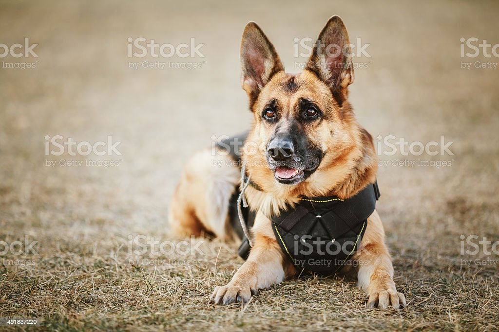 German Shepherd Dog Close Up stock photo