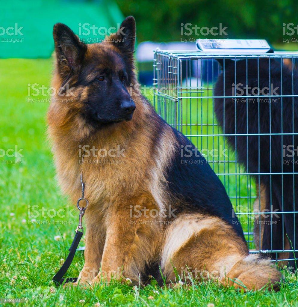 German Shepherd. Dog german shepherd in a nice spring day