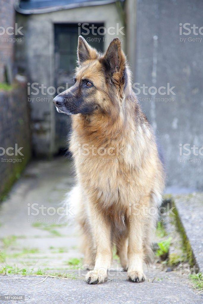 german shepherd dog in evening light royalty-free stock photo