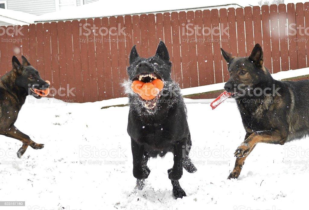 German Shepherd dog in motion stock photo