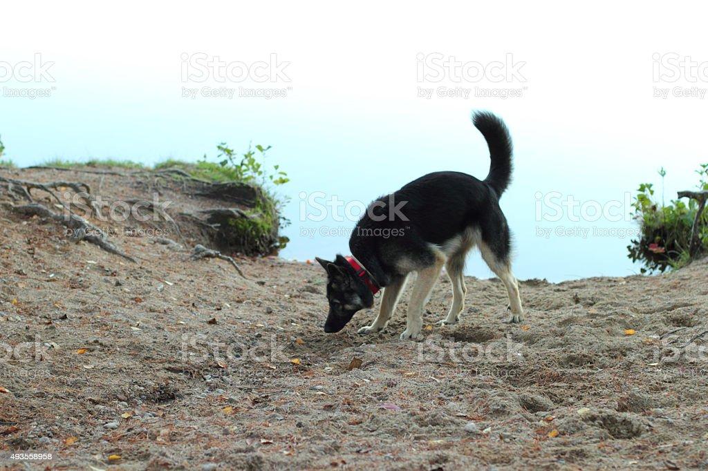 German Shepherd Dog in the lake stock photo