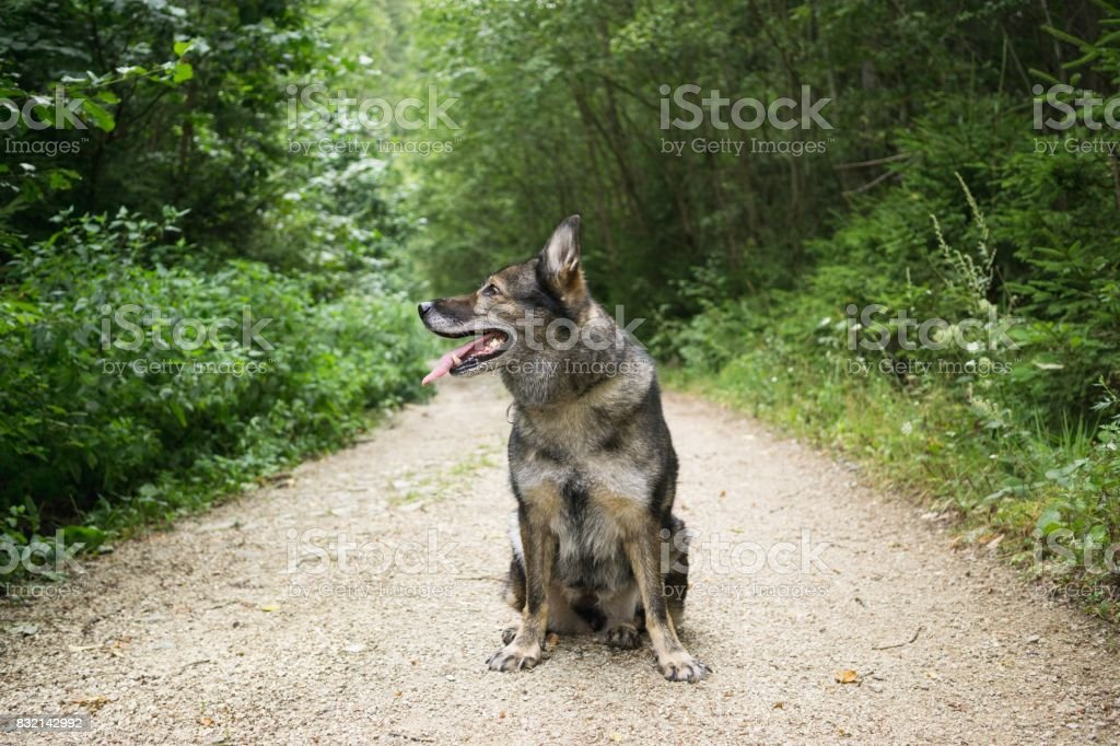 German Shepherd Dog in the nature - forest. stock photo