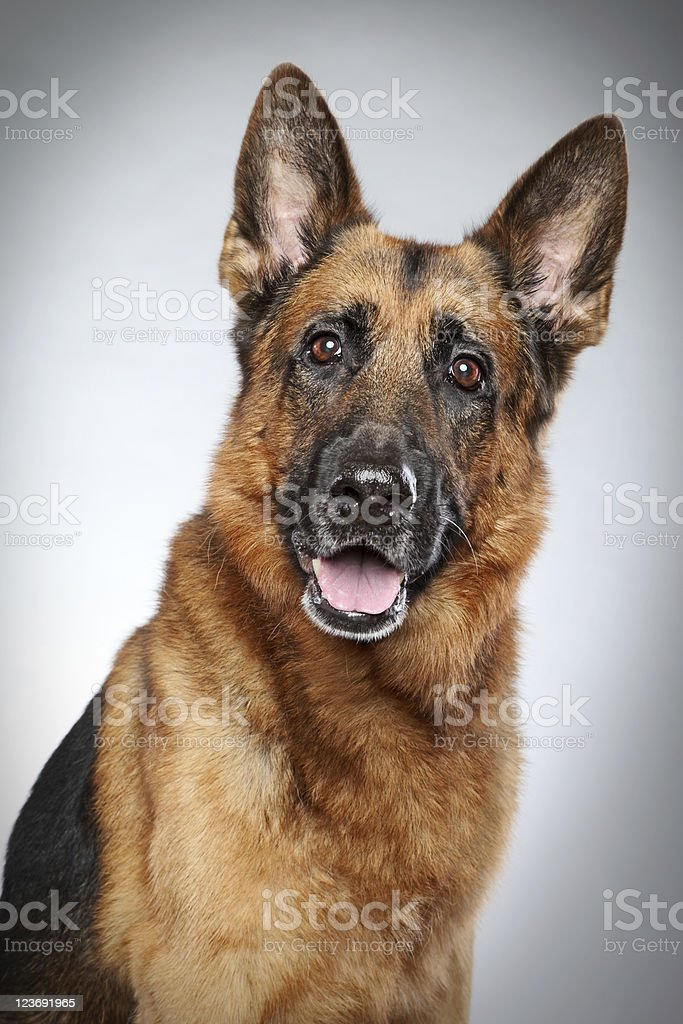 A German Shepherd dog looking at the camera stock photo