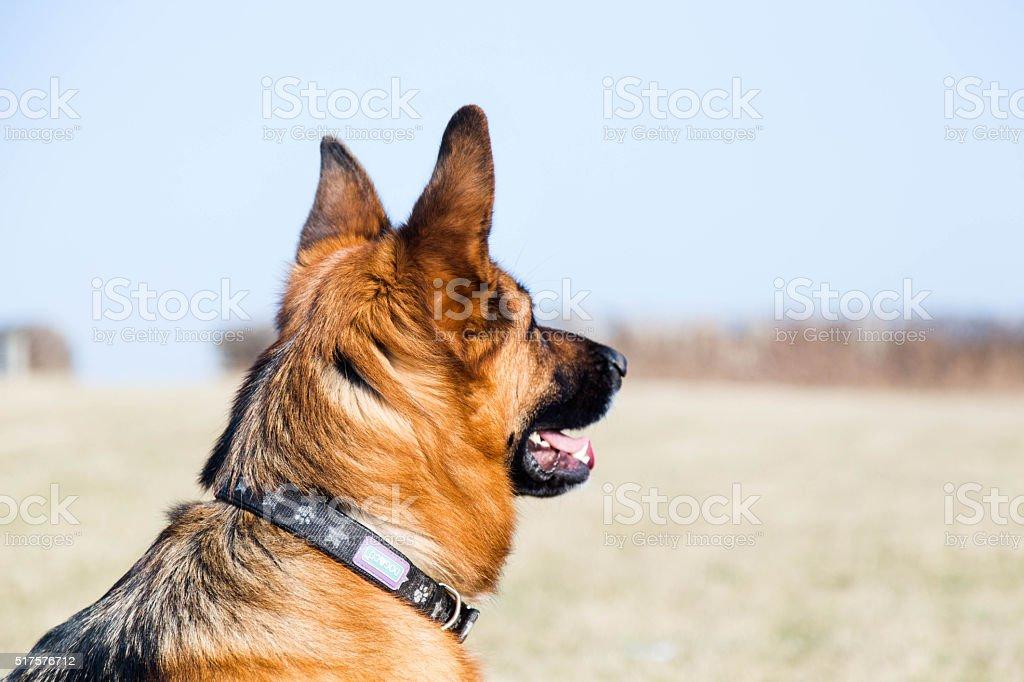 German Shepherd Dog looking into paddock stock photo