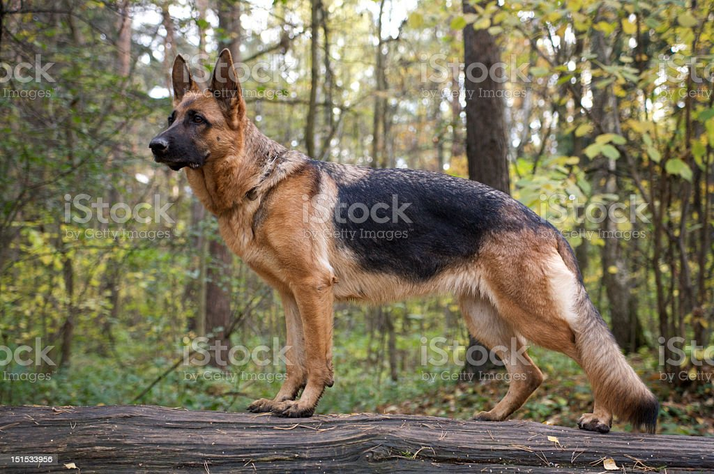 A German shepherd dog on a forest walk stock photo