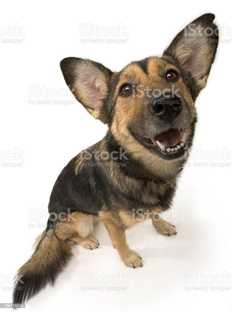 German Shepherd Dog (HI-RES) stock photo