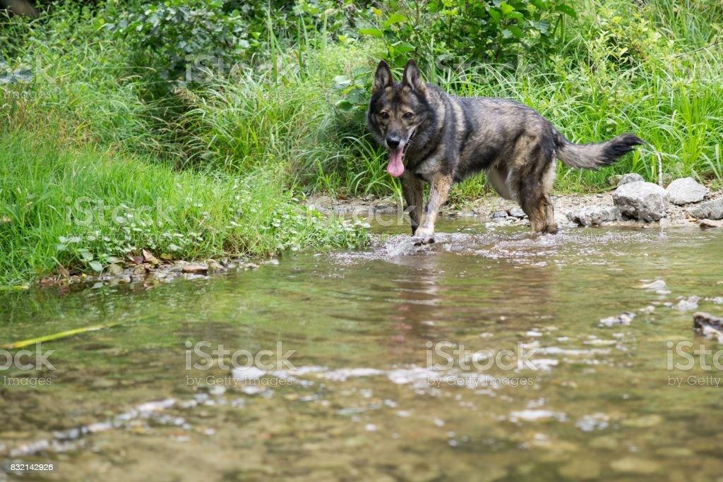 German Shepherd dog playing in water. stock photo