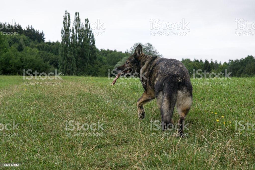 German Shepherd dog playing. stock photo