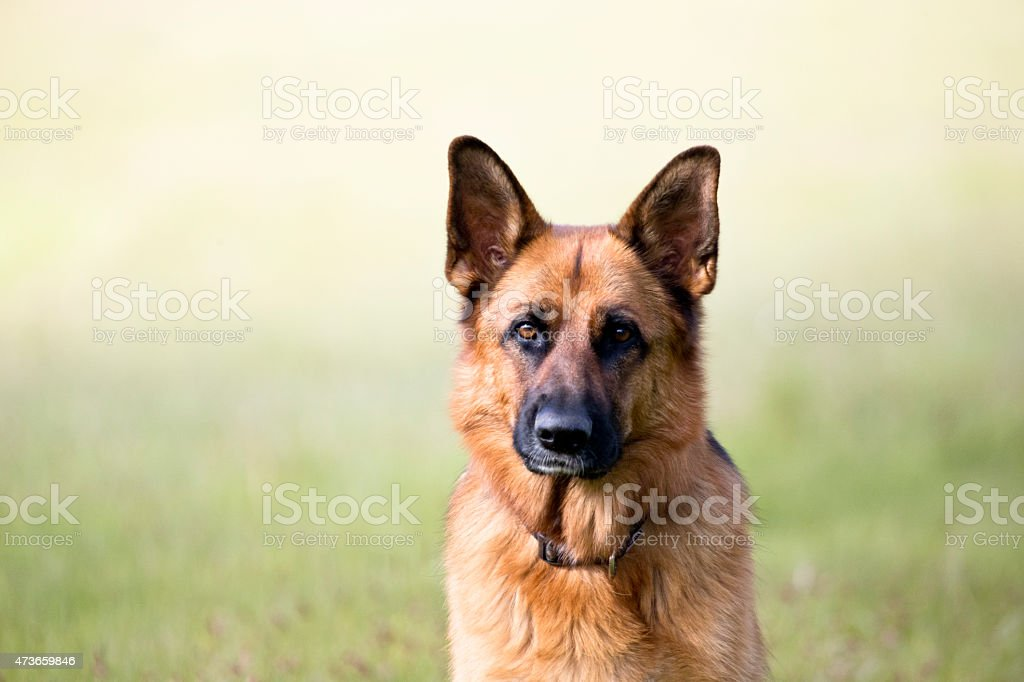 german shepherd dog portrait stock photo