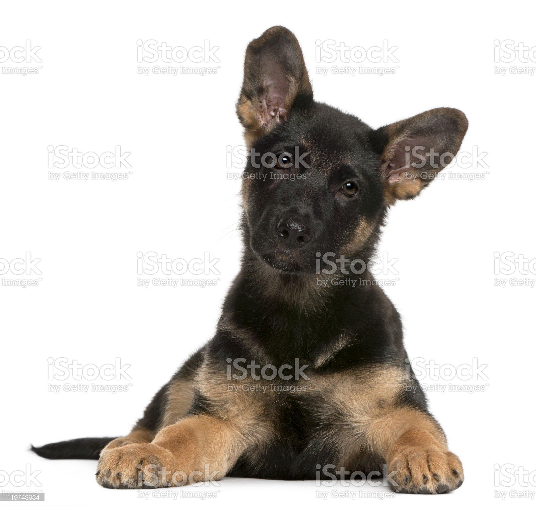 German Shepherd Dog puppy, 3 months old, lying, white background. royalty-free stock photo