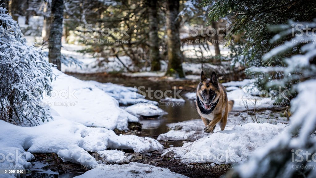 German Shepherd Dog running down trail stock photo