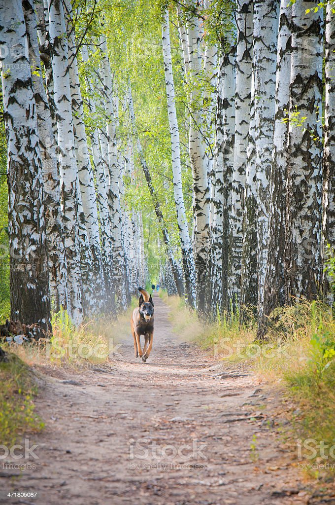 German Shepherd Dog runs along the path in park royalty-free stock photo