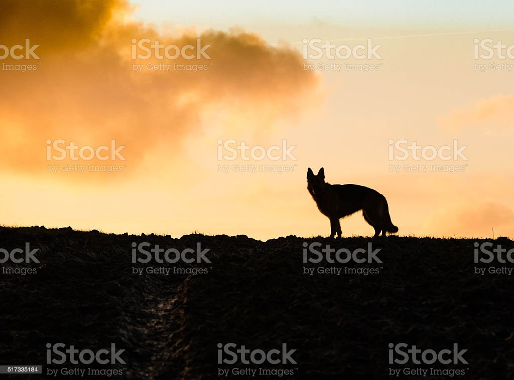 German Shepherd Dog silhouette at sunrise stock photo