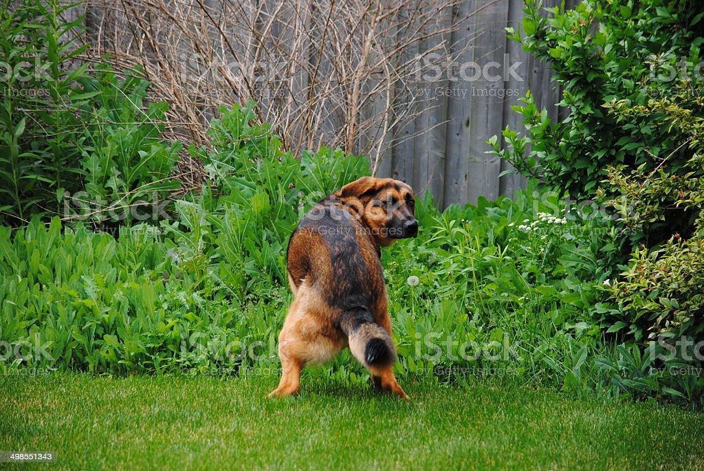 German Shepherd Dog Squatting to Poop stock photo
