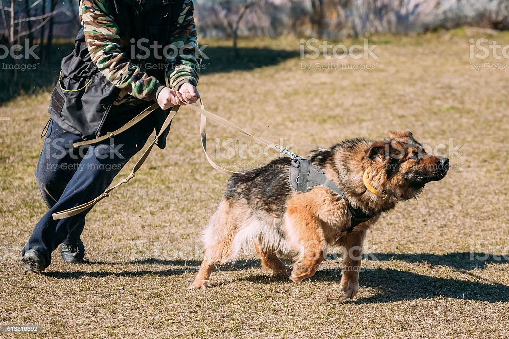 German Shepherd Dog training. Biting dog. stock photo