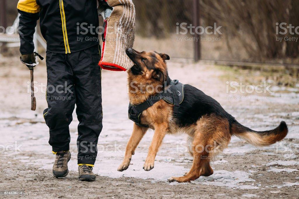 German Shepherd Dog training. Biting dog. stock photo