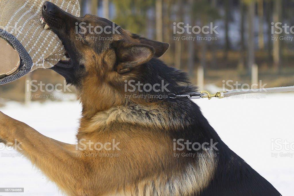 German shepherd dog training stock photo