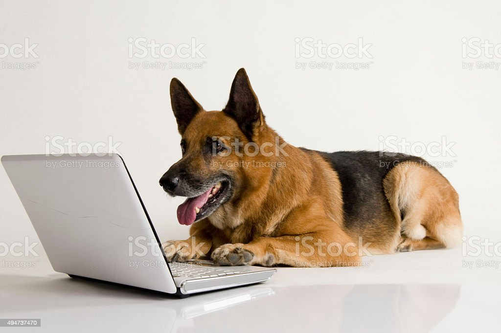 German Shepherd dog using a laptop stock photo