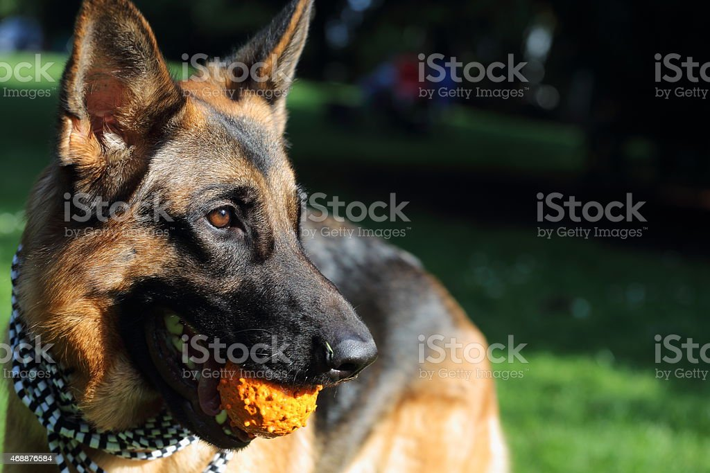 German shepherd dog with a ball-toy royalty-free stock photo