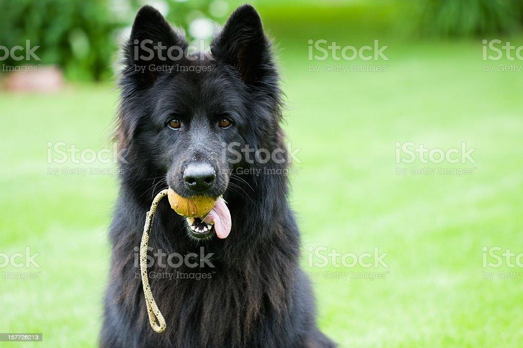 German Shepherd Dog with Ball stock photo