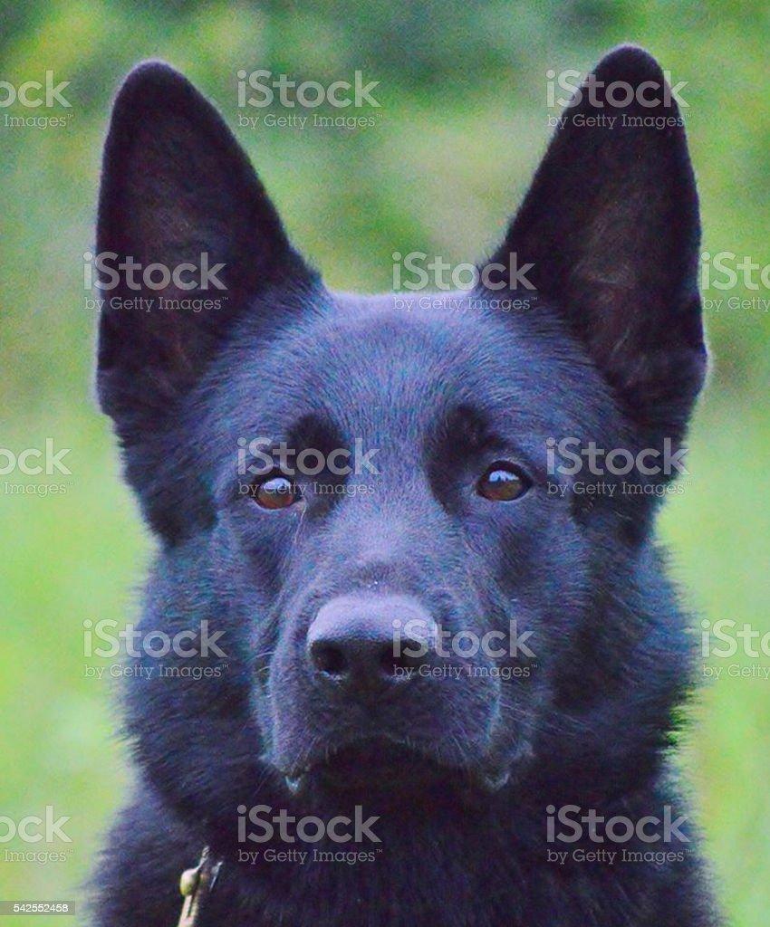 German Shepherd head profile stock photo