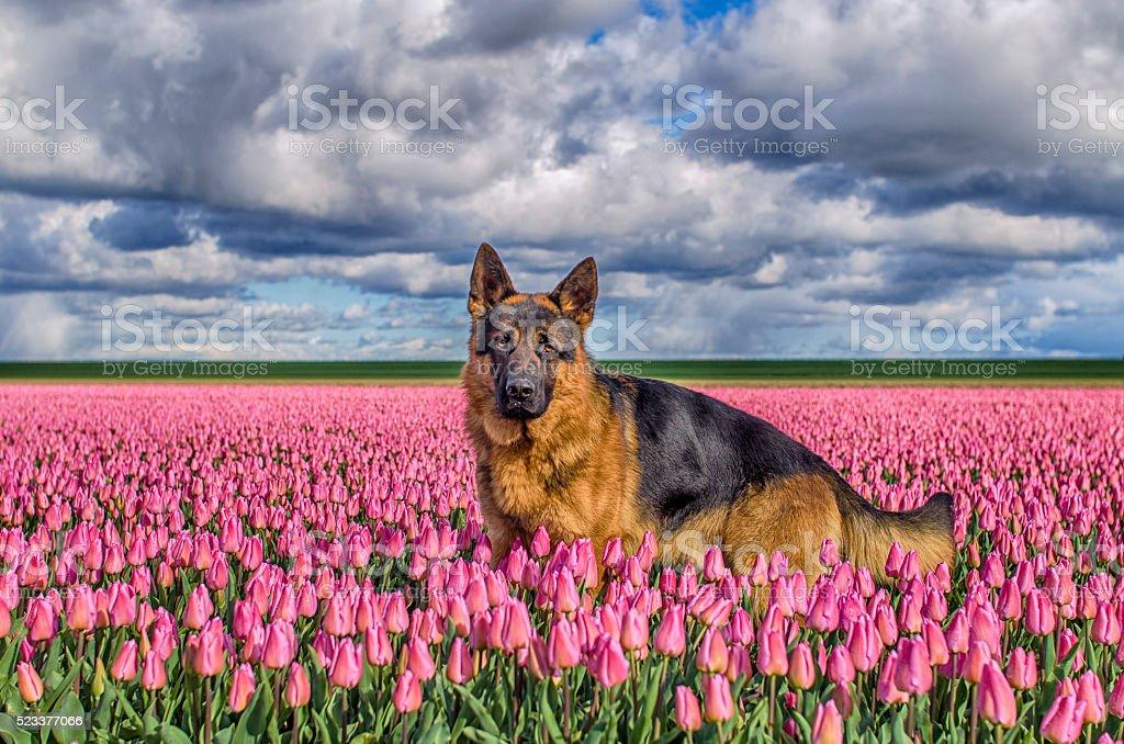 German Shepherd in a tulip field stock photo