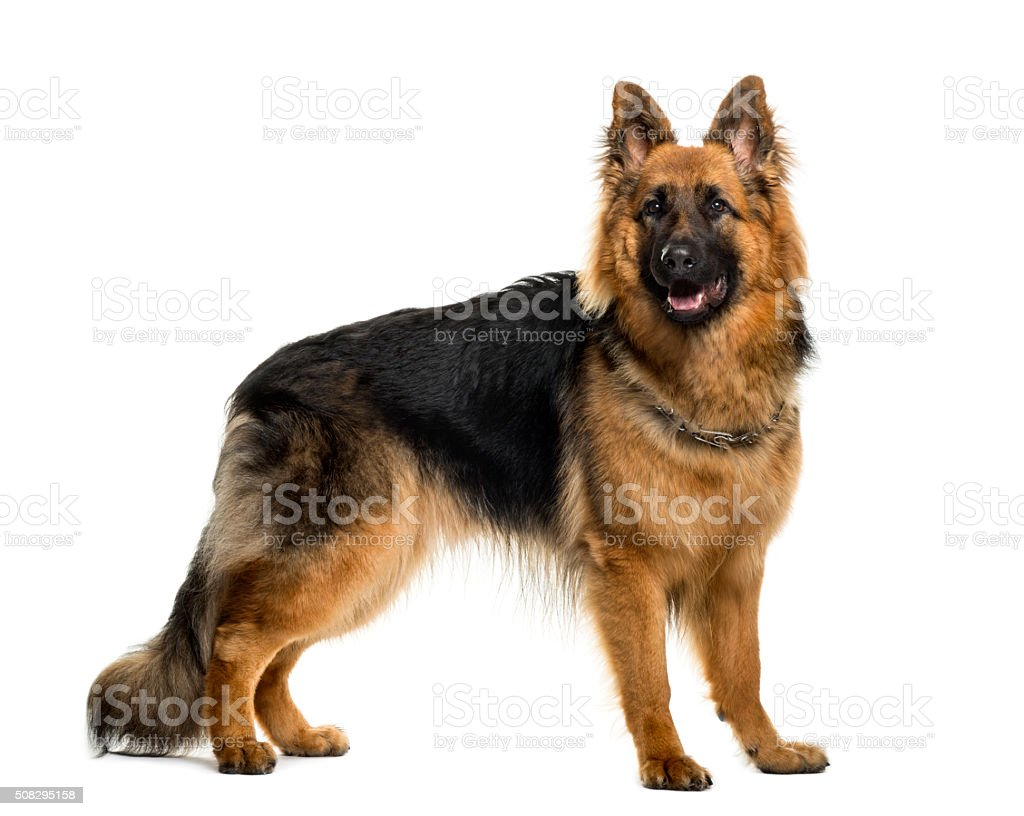 German shepherd in front of white background stock photo