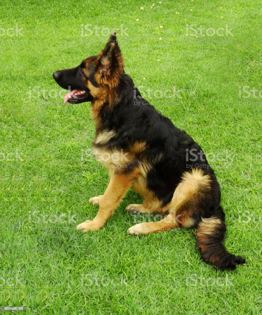 German Shepherd in the Garden of Home stock photo
