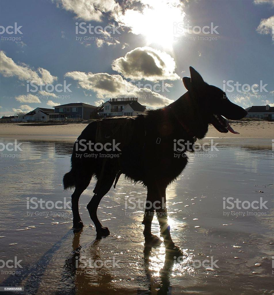 German Shepherd in the Sun stock photo