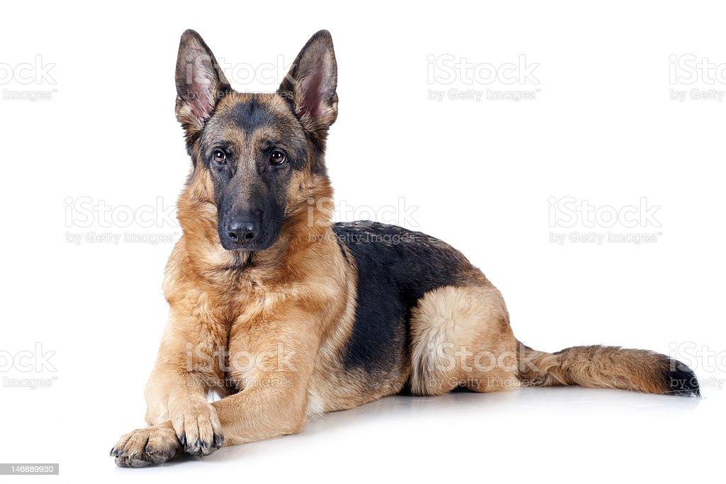 German Shepherd isolated on white stock photo