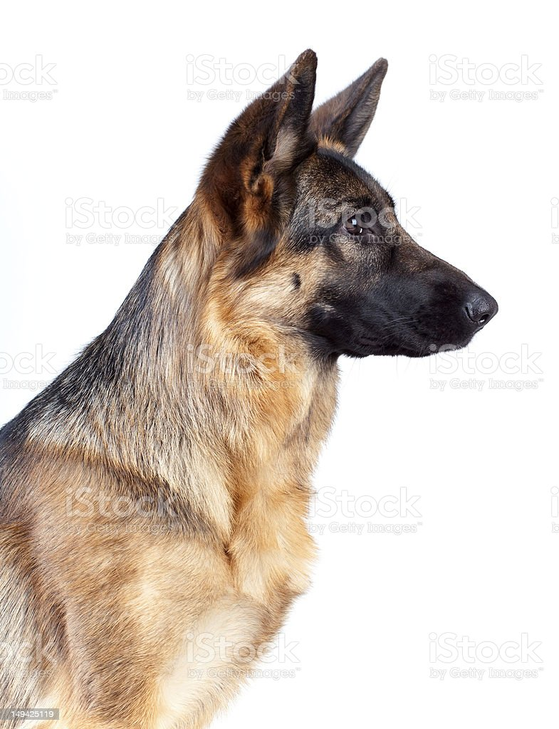 German Shepherd isolated on white stock photo
