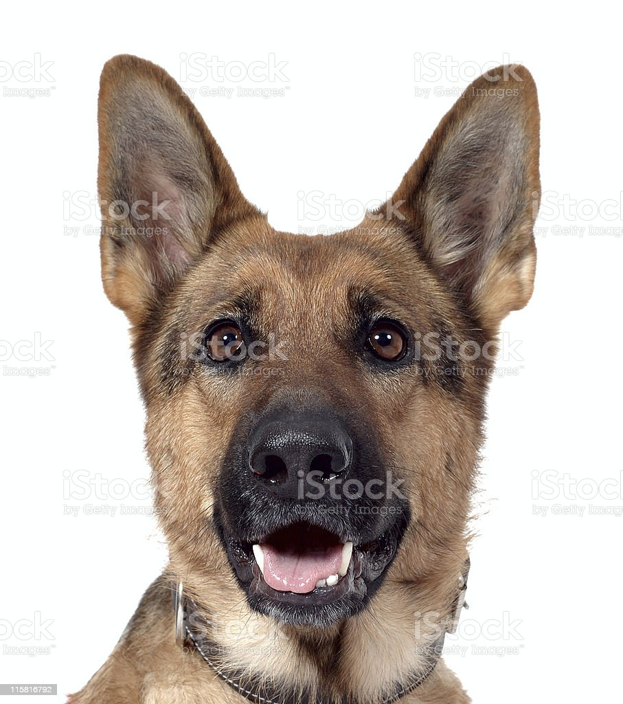 German shepherd isolated royalty-free stock photo