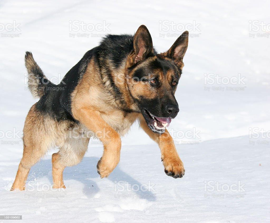 German Shepherd jumping in snow royalty-free stock photo