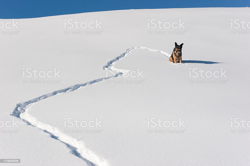 German Shepherd Looking at Landscape royalty-free stock photo