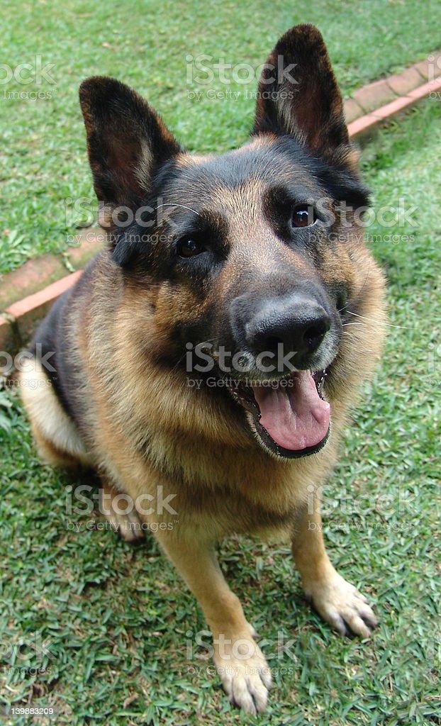 German shepherd looking up royalty-free stock photo