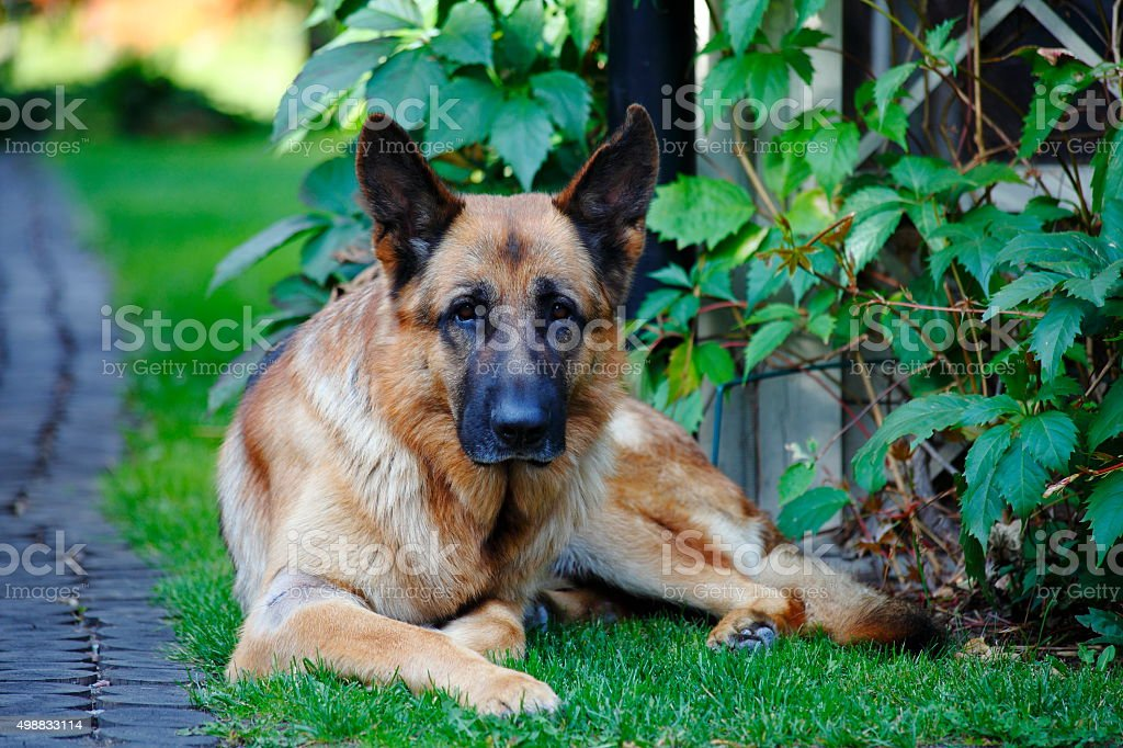 German Shepherd lying on the grass guarding stock photo
