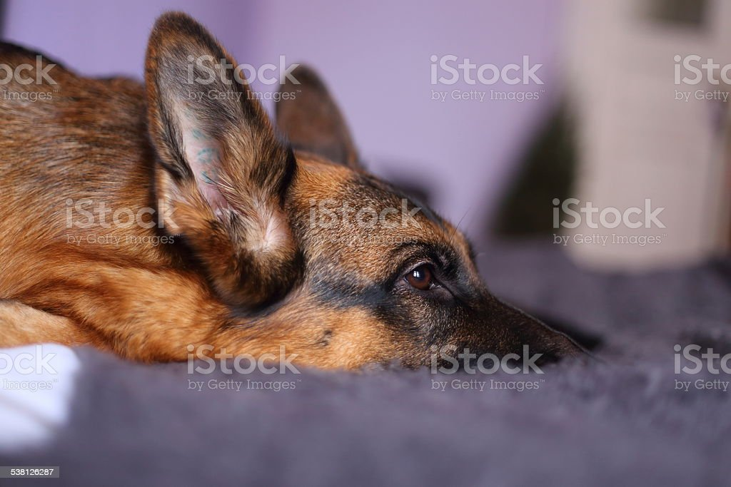 German shepherd lying royalty-free stock photo