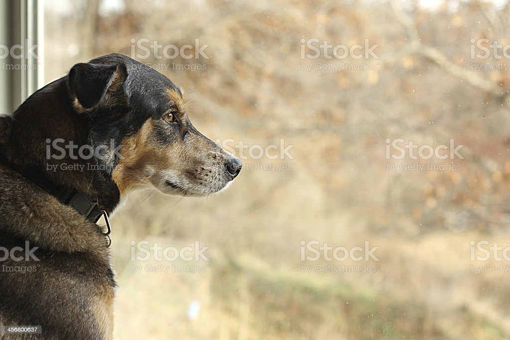 German Shepherd Mix Dog Looking Out Window stock photo