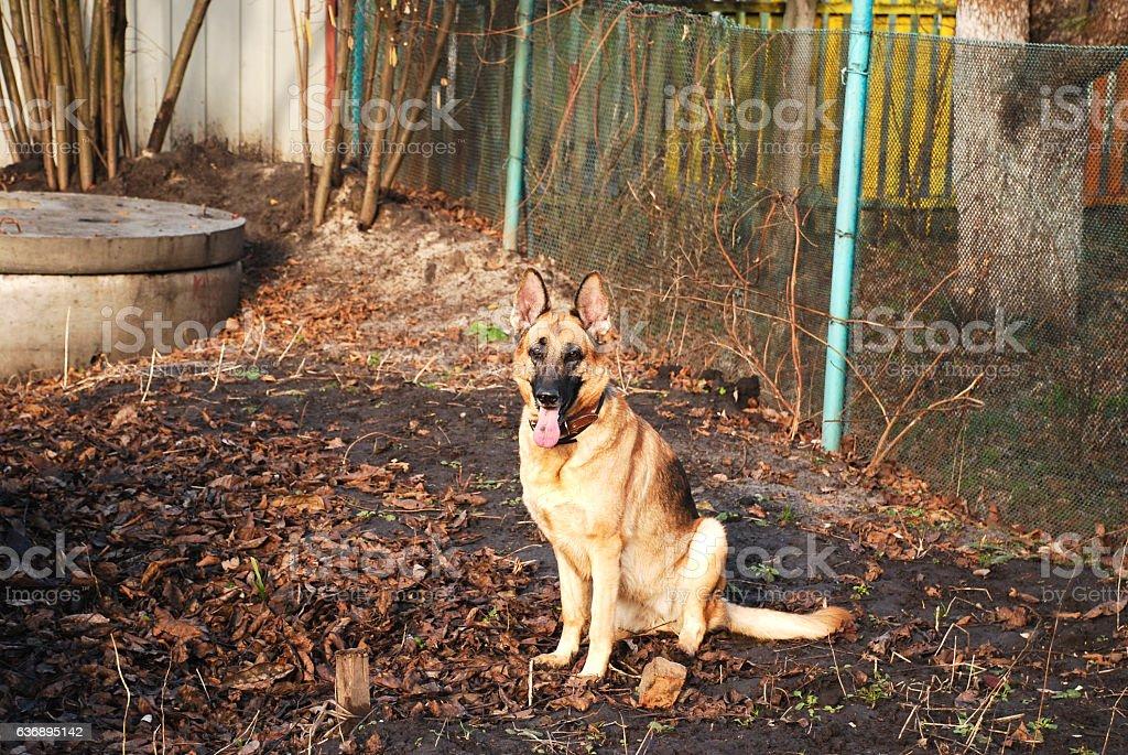 German shepherd on ground stock photo