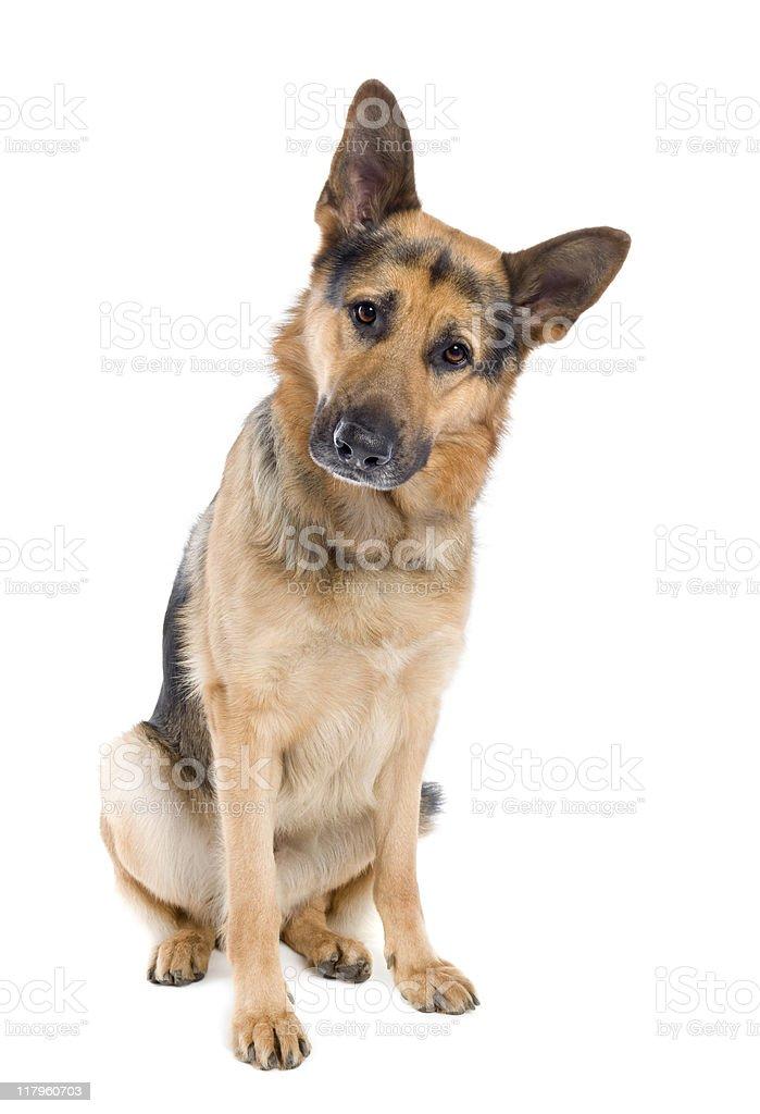 German shepherd (2 years old) royalty-free stock photo