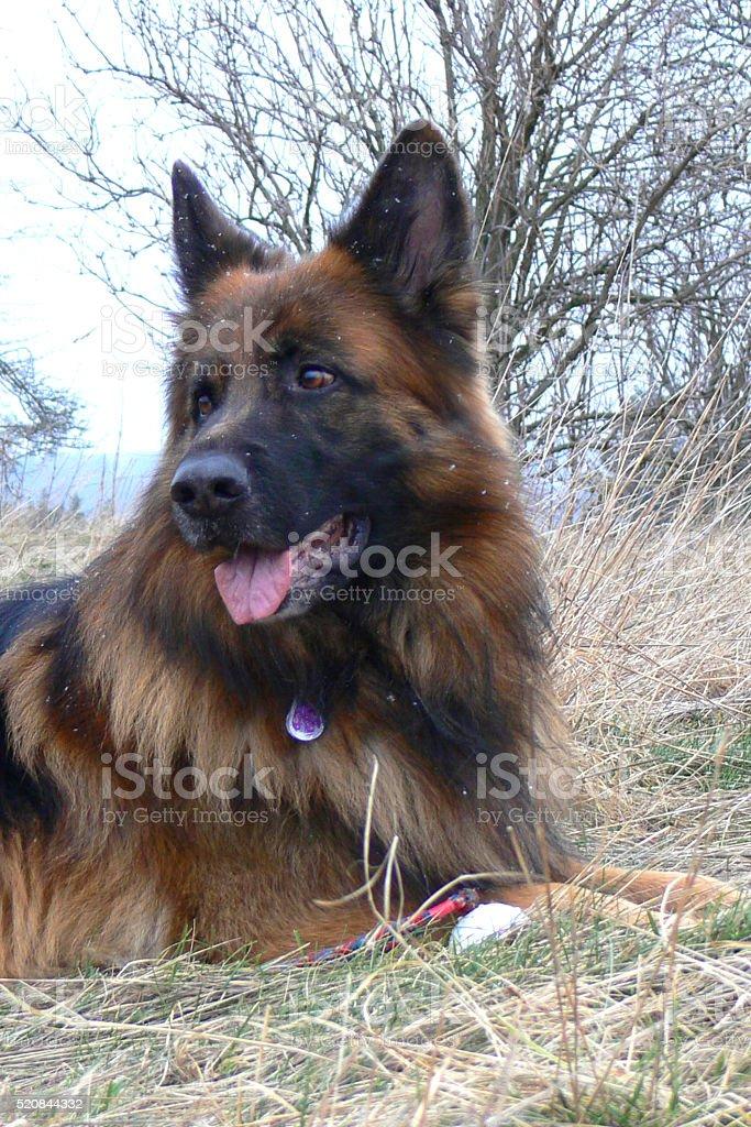 German Shepherd stock photo