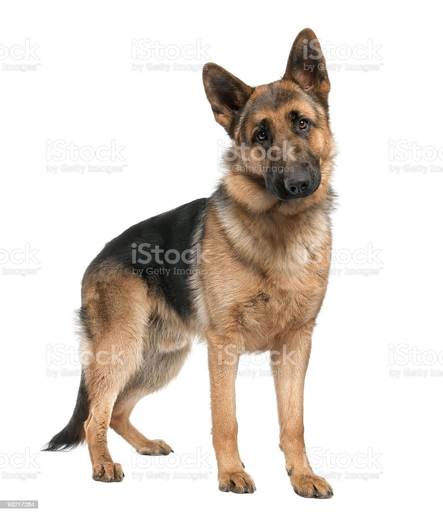 German shepherd (8 months) stock photo