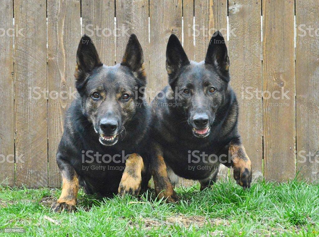 German Shepherd power stock photo