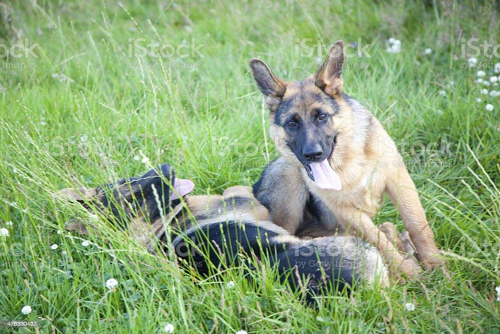 german shepherd puppies playing royalty-free stock photo