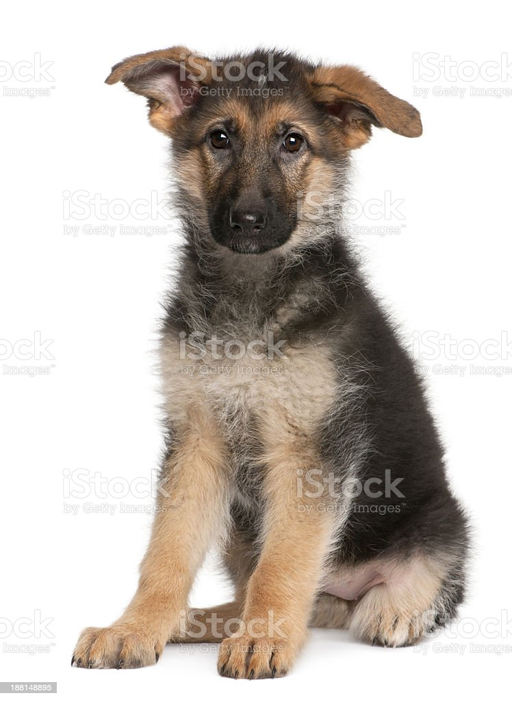 German Shepherd puppy, 4 months old, sitting isolated on white stock photo