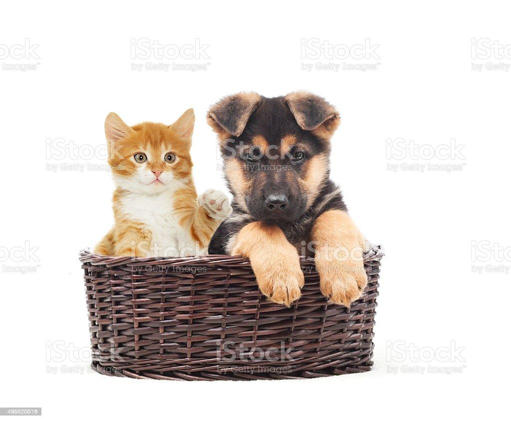 German Shepherd puppy and kitten in a straw basket stock photo
